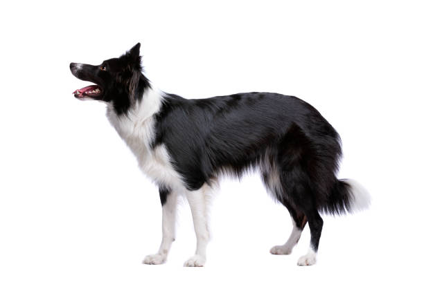 Black and white border collie dog picture id1081956350?b=1&k=6&m=1081956350&s=612x612&w=0&h=olj3ntgbwqutyceortv4icw710dr7unnycm c2cprhq=