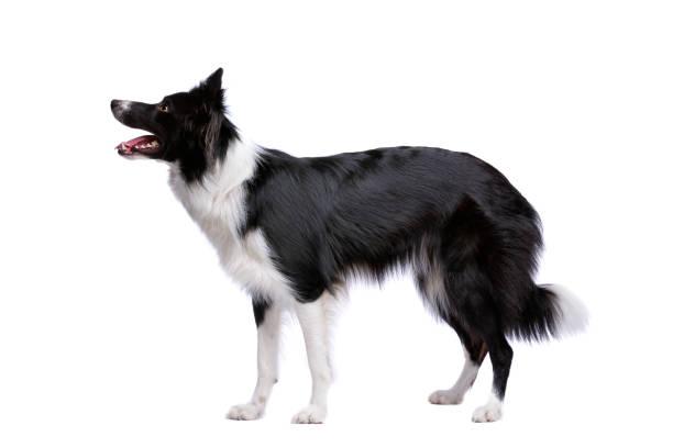 Perro collie de la frontera de blanco y negro - foto de stock