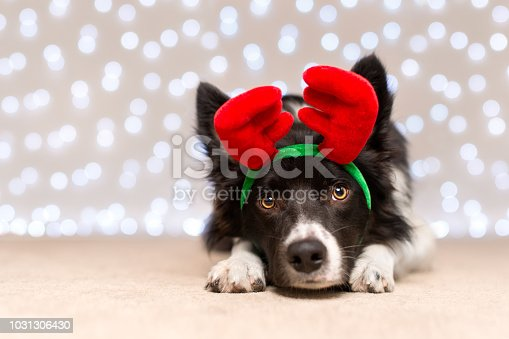 istock Black and White Border Collie Dressed Up for Christmas 1031306430