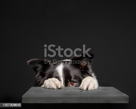 Adorable collie dog hiding behind a grey stool