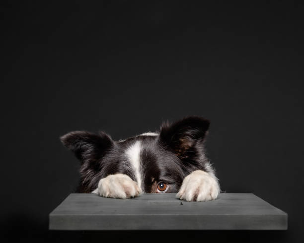 Black and white border collie hiding behind grey stool Adorable collie dog hiding behind a grey stool fear stock pictures, royalty-free photos & images