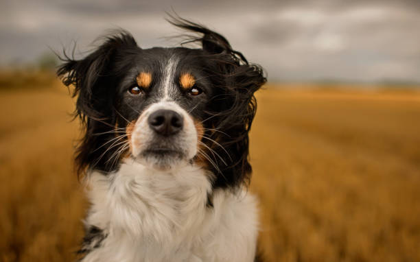 Black and White Border Collie Black and White Border Collie Outdoor in Countryside sheepdog stock pictures, royalty-free photos & images