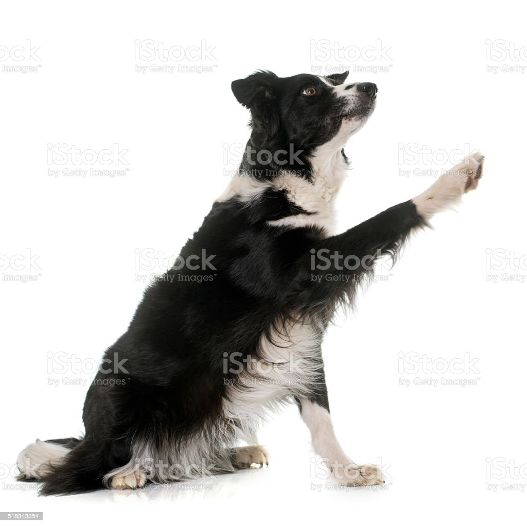 black and white border collie stock photo