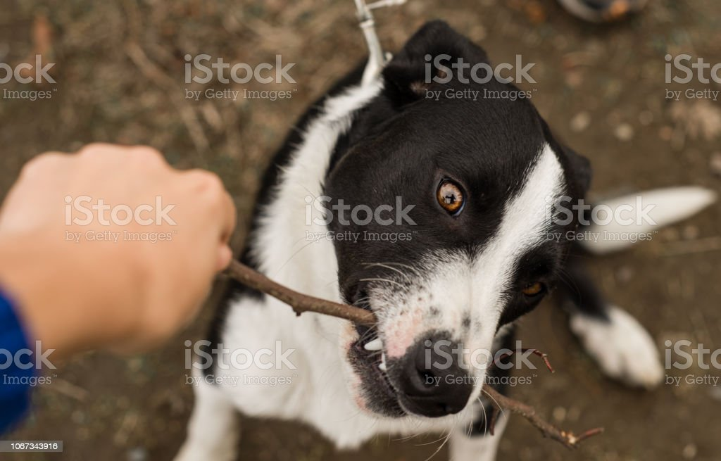 Black and white Border Collie puppy biting a stick stock photo