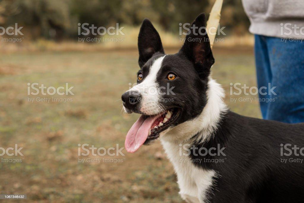 Cachorro de Border Collie blanco y negro al aire libre - foto de stock