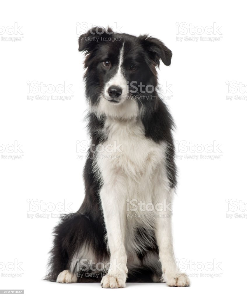 Black and white Border Collie sitting, 8 months old, isolated on white stock photo