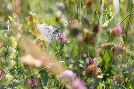 Black and White Butterfly Gathering Pollen on Lilac Flowers in Green Field on a Sunny Day