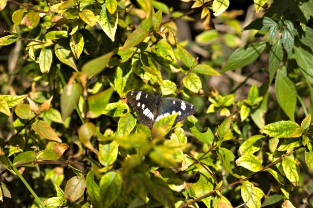 Black and white butterfly on the plant leaves picture id1045532536?b=1&k=6&m=1045532536&s=612x612&w=0&h=9vcuzsj64nlojjq2xe88vezata9nvrmlhpcmuwz6bhc=
