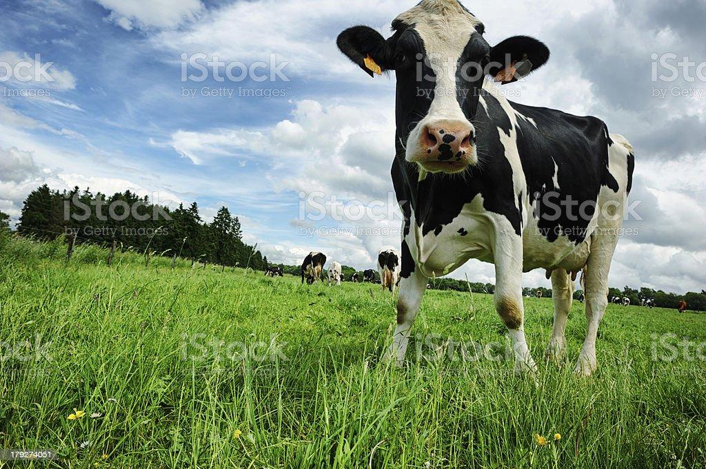 Black and white calf stock photo