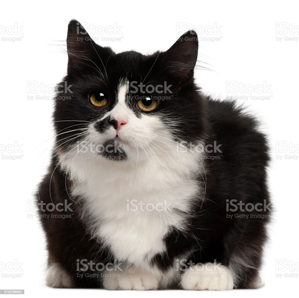 Black and white cat, 5 months old, sitting stock photo