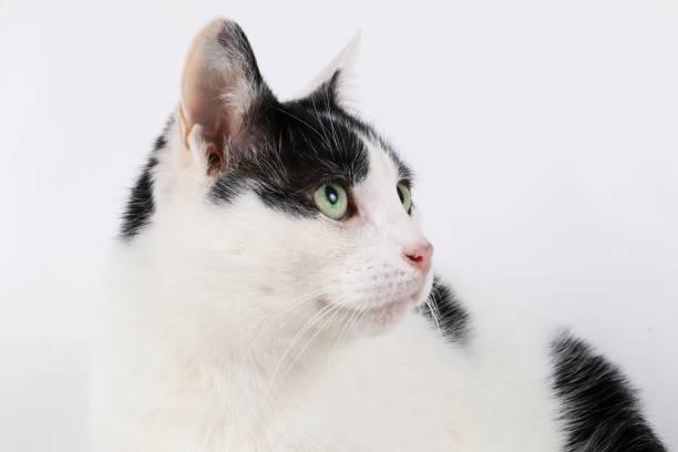 schwarze und weiße katze im studio - katzenschrank stock-fotos und bilder