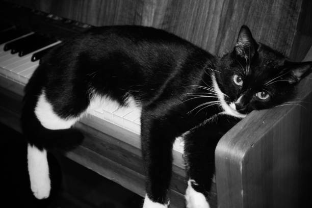 Black and white cat lying on piano dangling his paws picture id954595908?b=1&k=6&m=954595908&s=612x612&w=0&h=duponvrjn7db08onkzllr3xfiizxzo64usqkcioaj90=