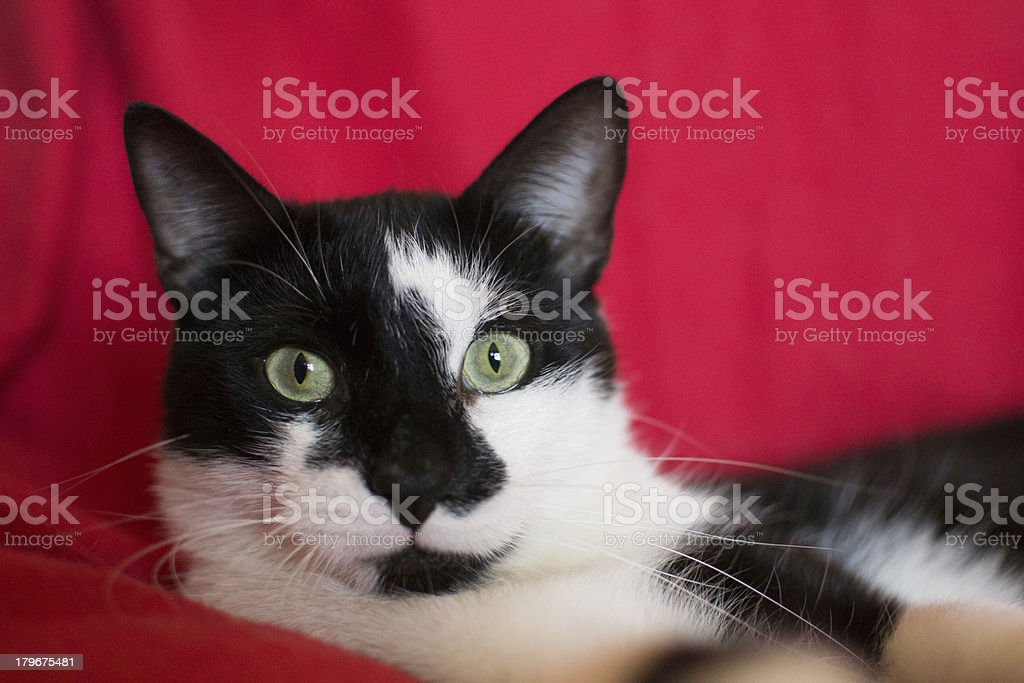 Black and white cat on a red background royalty-free stock photo