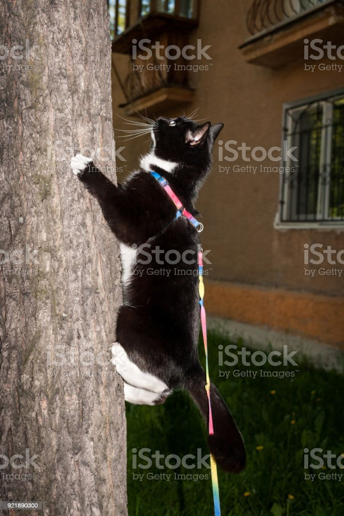 Black and white cat on harness is scrambling on tree near residental house in summer evening. stock photo