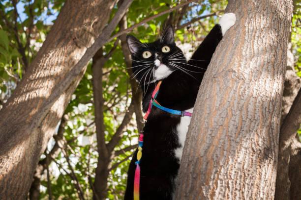 schwarz-weiß katze am gurtzeug mit backenbart und weit aufgerissenen augen kleben ist auf einen baum klettern. - katzengeschirr stock-fotos und bilder