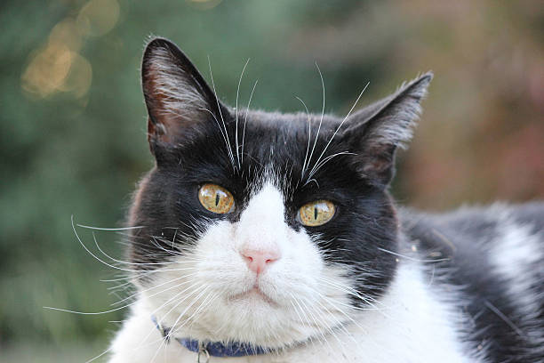 Black and white cat outdoor portrait stock photo