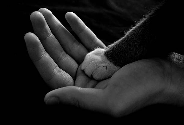 Black and white cat paw over a human hand in grayscale  Man's hand holding a cat's paw. animal hand stock pictures, royalty-free photos & images