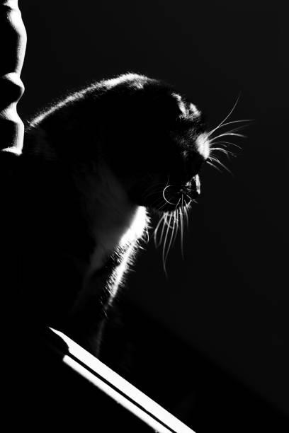 Black and white cat picture id1266934288?b=1&k=6&m=1266934288&s=612x612&w=0&h=wby4baxgfy4prkg xgpq9wbojleg ejtnx5noatobj4=