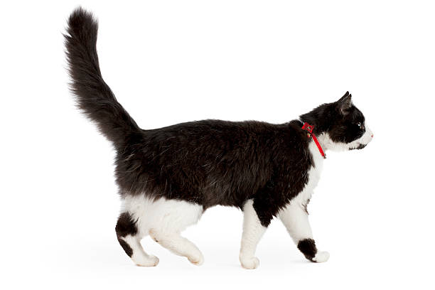 black and white cat - 衣領 個照片及圖片檔