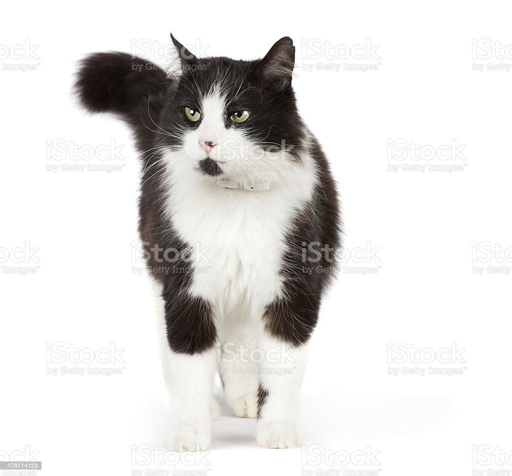 Black and white cat royalty-free stock photo