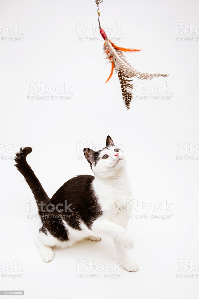 Black and white cat playing feather toy stock photo