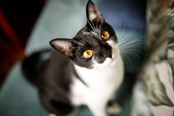 Black and white cat portrait picture id1137064533?b=1&k=6&m=1137064533&s=612x612&w=0&h=hrhgqcciev2zbnfbv8abh g3mtdew 4chs3xv2j fei=