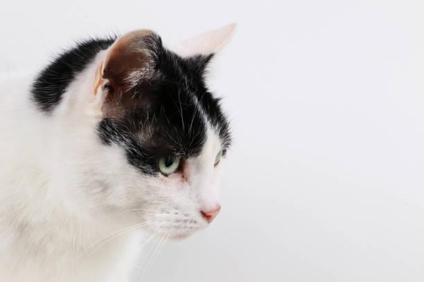 schwarze und weiße katze porträt - katzenschrank stock-fotos und bilder