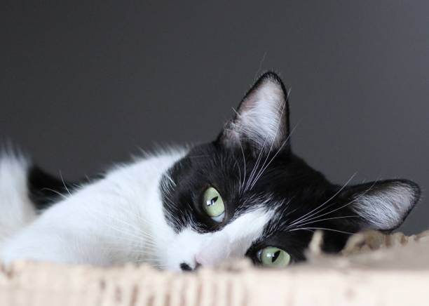 Black and white cat relaxing picture id1146728549?b=1&k=6&m=1146728549&s=612x612&w=0&h=7tuyvayqsdsgxsvp2j9zk1hq3ooyku4mk p noupssq=