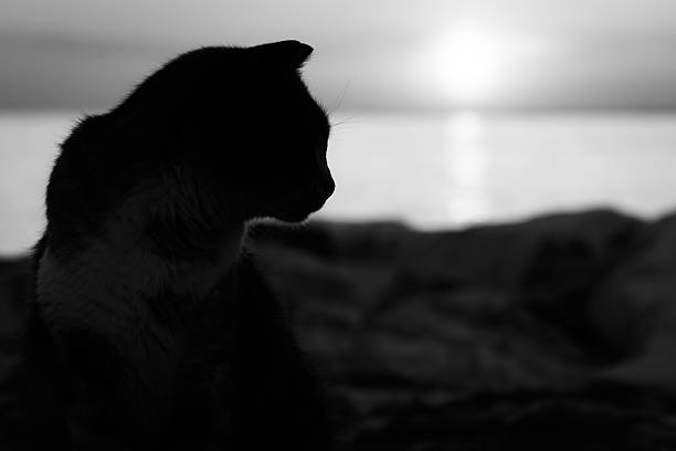 Black and white cat silhouette in sunset picture id472481240?b=1&k=6&m=472481240&s=612x612&w=0&h=oubdb3tsjm4ezpkuizsnqsegtvd1xaum 8q7 6lmjhc=