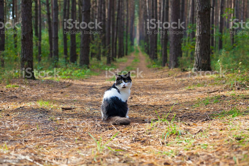 Black and white cat sitting in the pine forest – Foto