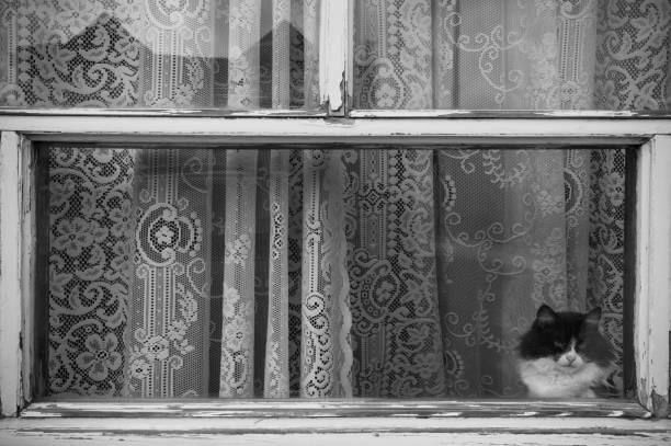 gato blanco y negro ver a través de una ventana con cortinas viejas - foto de stock