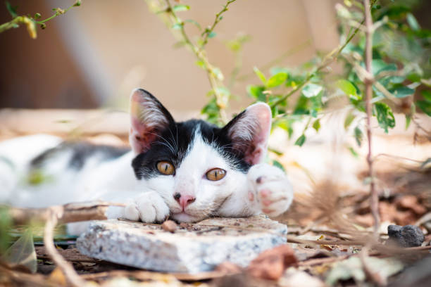 Schwarze und weiße Katze mit gelben Augen – Foto