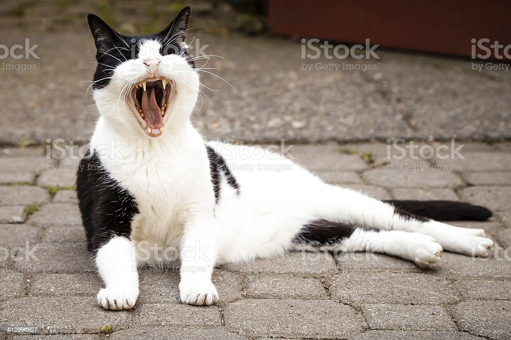 Black and White Cat Yawning Widely While Lying on Paving stock photo
