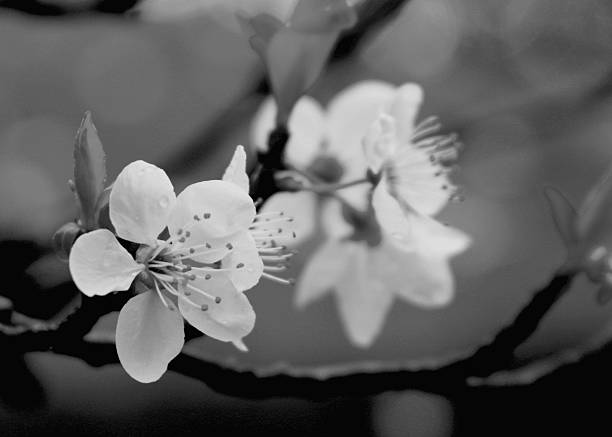 Black And White Cherry Blossom On Branch Stock Photo