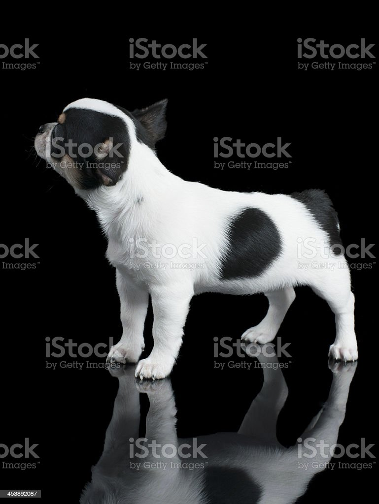 Black and white Chihuahua royalty-free stock photo