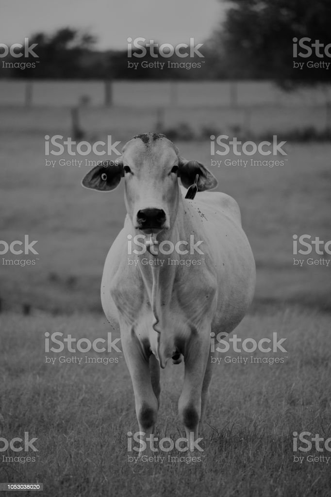 black and white close up image of a Brahma cow stock photo