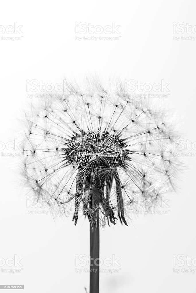 black and white close up of a beautiful dandelion stock photo