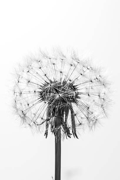 black and white close up of a beautiful dandelion - foderblad bildbanksfoton och bilder