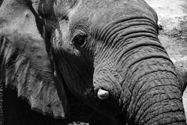 Black and white close up of an elephant. stock photo
