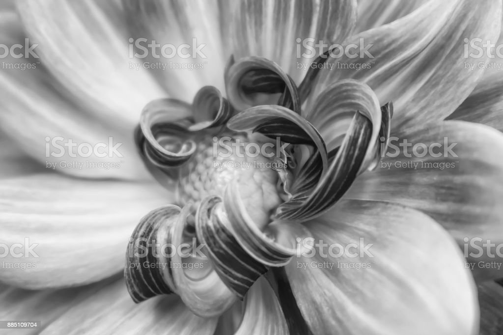 Black and White Close Up of Curled and Lined Petals stock photo