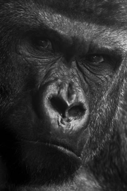 Black and white close up portrait of large male gorilla stock photo