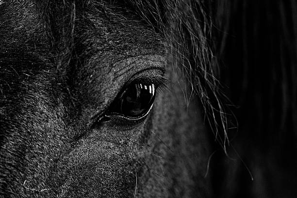 Black and white close up image of horses eye stock photo