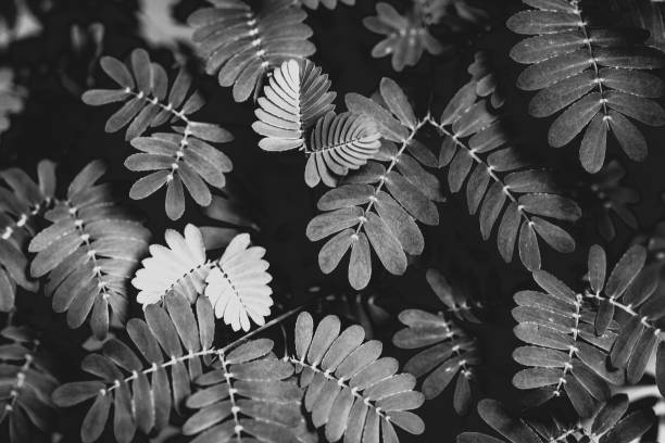 Black and white close-up of the leaves of the sensitive, shy, touch-me-not plant, mimosa pudica, in black and white stock photo