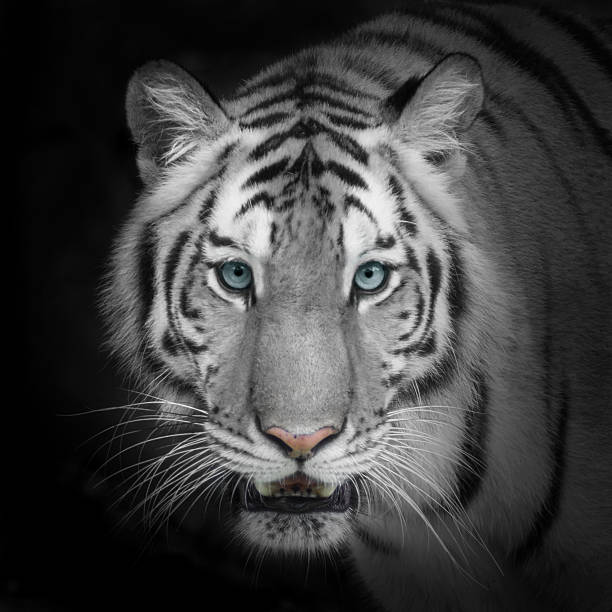 royalty free tiger face pictures images and stock photos istock