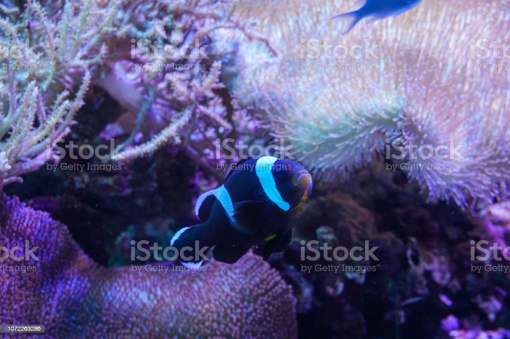 Black and white clown fish with sea anemone coral