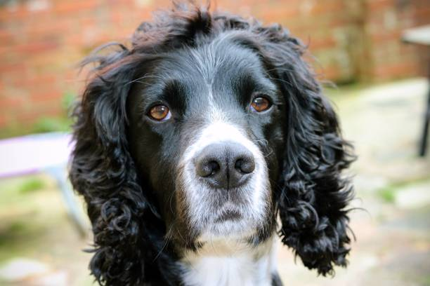 Black and white cocker spaniel dog stock photo