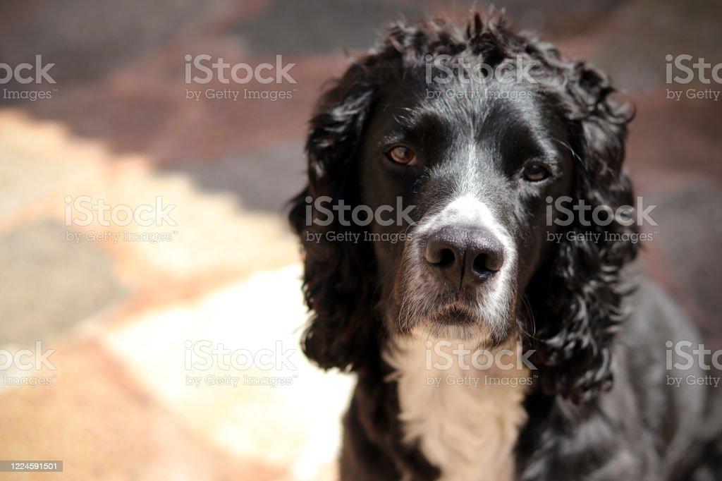Black and white cocker spaniel dog - Royalty-free Animal Stock Photo