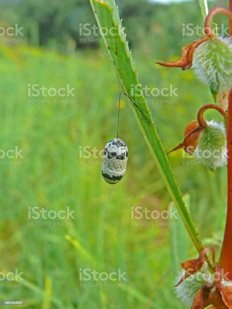 Black And White Cocoon Of Charops Brachypterum stock photo