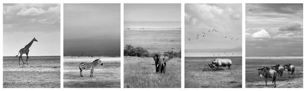 Schwarz-weiß Collage von Tierfotos – Foto