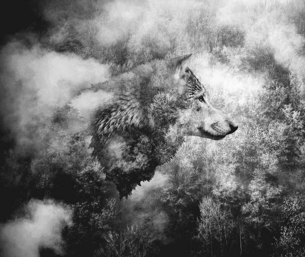 black and white collage: wolf head and the misty forest. - lupo foto e immagini stock